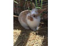 Rex X lionhead bunnies forsale