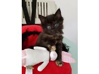 🐾 3 stunning/affectionate female kittens🐾