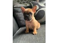 3 KC REGISTERED FRENCH BULLDOG PUPPIES