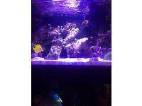 Coral beauty marine fish