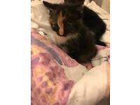 Girl kitten litter trained ready to go very playful good around my children