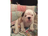 Stunning bulldog puppies