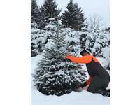 Weihnachtsbaum Selber Schlagen Sauerland.Weihnachtsbaumhof Tacke In Halver Ebay Kleinanzeigen