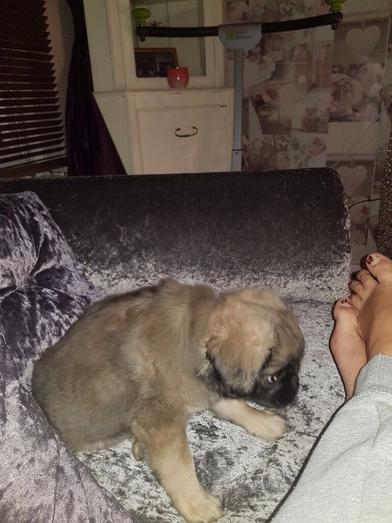 Pedigree Long Haired Pug In Plymouth Devon Gumtree
