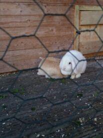2 and half yr white lop rabbit