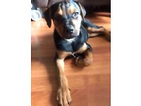 Rottweiler corgi mixed - a responsible dog lover