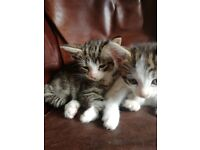 4 adorable kittens weaned and fleaded and wormed