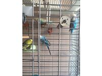 Four Budgies and cage up for sale