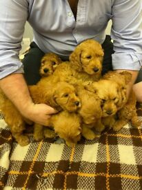 Beautiful cockapoo puppies or sale boys and girls ready for there new homes