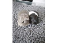 Guinea pigs for sale 8 weeks old