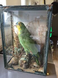VICTORIAN TAXIDERMY PARROT, ORANGE-WINGED AMAZON?, GLASS CASE, NEEDS RESEAL