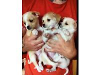 Chihuahua x Chinese crested powder puff pups