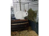 Netherland dwarf rabbit with cage