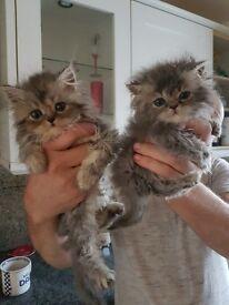 Chinchilla persian kittens