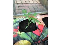 Beef tomato plants free to collect