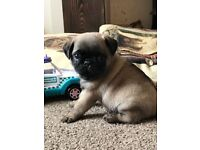 Pug puppies for sale. READY NOW