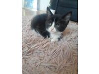 8 week black and white kitten SOLD