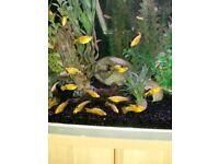 TROPICAL FISH (MOLLIES)