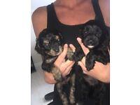 F1 toy Cavapoo puppies 2 girls left