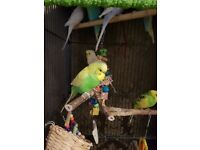 Baby Multi Coloured Budgies