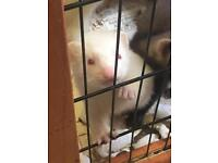 LOVELY MICRO X FERRET KITS FOR *RESERVE*