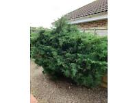 Eastern red cedar (free to collector)