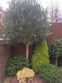 Garden Trees and Shrubs - BARGAIN!!!