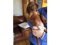 Red setter pups
