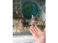 2 x female Degus + cage and accessories
