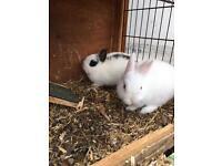 Netherland dwaf rabbits