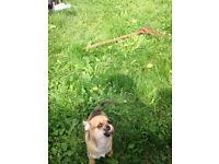 chihuahua pup KC REG