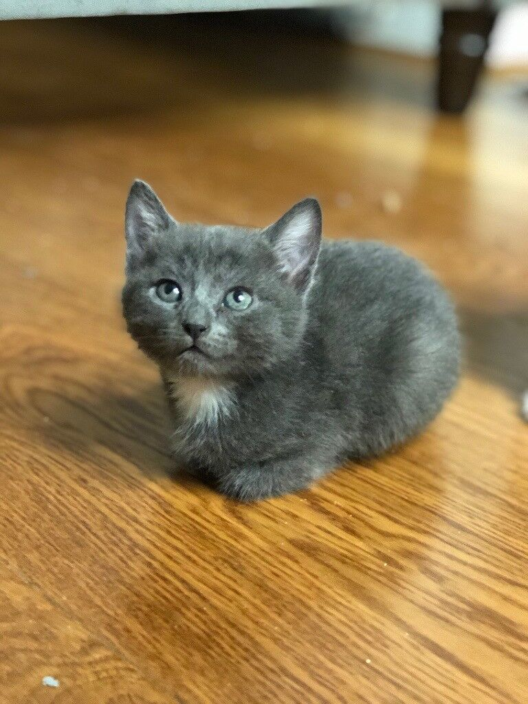 FULL GREY GREY TABBY KITTENS for sale in Hayes London