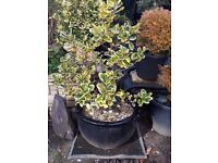 Lovely medium sized Ilex plant, with variegated leaves, contained in a round black ceramic pot