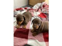 KC Reg Dachshund puppies
