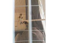Goldfinch ( hen)