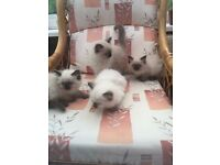 4 male Ragdoll kittens