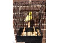 Dutch frill canaries