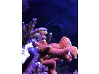Corals Marine Reef Saltwater Sps