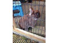 Bonded rabbit netherland dwarf pair