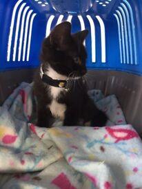 10 week male kitten