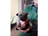 Cairn Terrier pups for sale