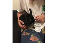 Netherland Dwarf Rabbit Looking for a Home