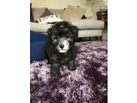 Toy poddle puppy for sale 8 weeks old