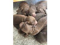 Stunning F1 miniature COCKERPOO puppies