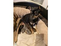 Chihuahua puppies available 24th December