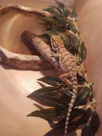 Baby Female Bearded Dragon