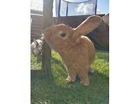 Giant male rabbit