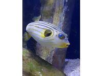 Narrow Line Puffer Fish