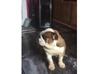 BRITISHPRIDE BRITISH BULLDOG FEMALE FOR SALE