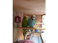 18 Month Old Budgies For Sale